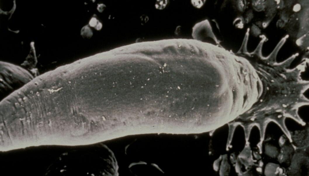 Parasitten Gyrodactylus salaris er bare en halv millimeter, men har tross sin beskjedne størrelse vært en av de største truslene mot norsk villaks. (Foto: Tor Atle Mo, NINA)
