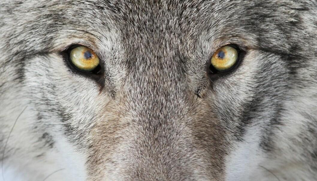 Hvorfor (i all verden) skulle det at en art er innført til et område, - hvilket, så vidt undertegnede kan forstå, noe bortimot garantert ikke er tilfelle med ulven – gjøre denne arten «unaturlig» og rettsløs? spør Erik Tunstad. (Foto: Mircea Costina, Shutterstock, NTB scanpix)
