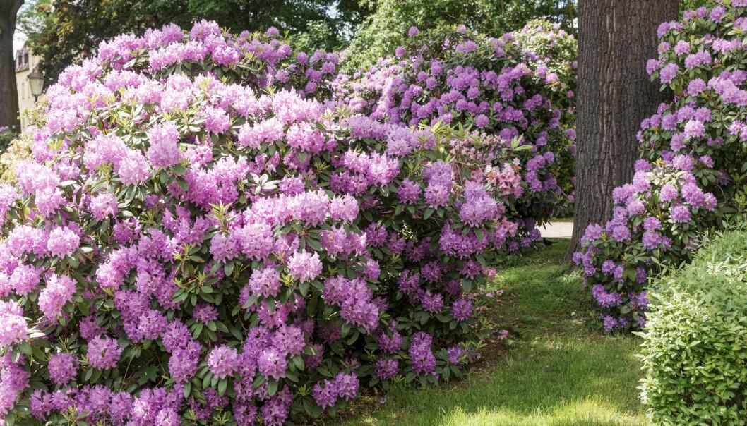 Denne vakre planten kan bli en trussel mot norsk natur, om det blir varmere i været og frøene overlever og spirer.  (Foto: kelifamily / Shutterstock / NTB scanpix)