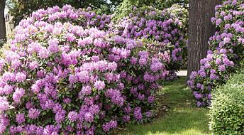 Kronikk: Er Rhododendron en trussel mot norsk natur?