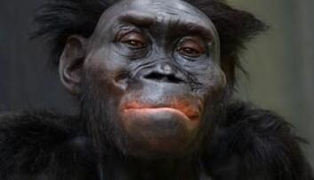 Menneskeslekten, Homo, er utviklet fra oppreiste apemennesker som den berømte «Lucy» (Australopithecus afarensis), men Lucy er ikke direkte opphav til oss. Denne nyeste rekonstruksjonen av Lucy finnes ved Moesgaard Museum (MoMu) i Aarhus. (Foto: Moesgaard Museum)