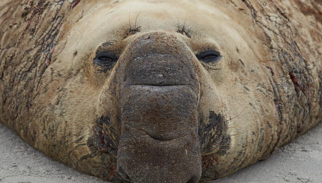 Elefantselen dykker med glede i to timer – på to kilometers dyp. (Foto: JeremyRichards / Shutterstock / NTB scanpix)