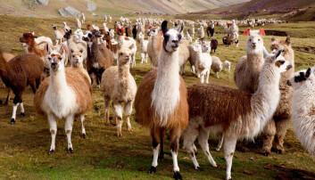 Alpakkaer og lamaer i fjellområder i Peru. (Foto: juni.samos / Shutterstock / NTB scanpix)