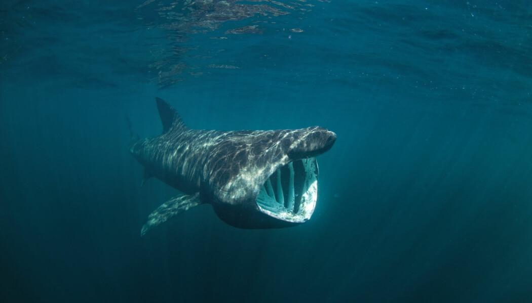 Haier er ekstreme langdistansesvømmere. Haitypen brugde for eksempel svømmer fra Skottland til Newfoundland og fra vestkysten av USA til Brasil. Den finnes også langs norskekysten. (Foto: Shutterstock / NTB Scanpix)