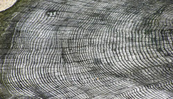 Forskjellen i årringenes tykkelse er grunnlaget for dendrokronologi. (Bilde fra Wikipedia)