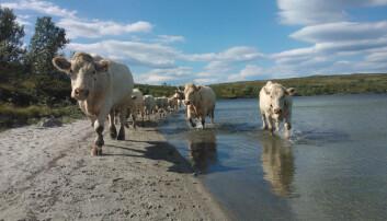 Store dyr som kua er ikkje like utsette for rovdyrangrep på beite som sau. Driftsøkonom Ole Kristian Stornes ved NIBIO har rekna på om det kan lønne seg for ein sauebonde å gå over til kjøtfe. (Foto: Jon Schärer)