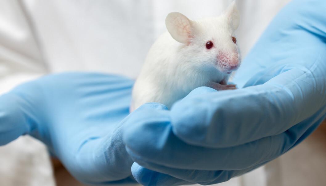 Denne musen er ikke kokain-påvirket, så vidt vi vet. Det er en illustrasjons-labmus. (Bilde: Mirko Sobotta / Shutterstock / NTB scanpix)