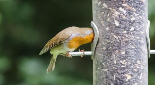 Hvorfor blir ikke småfuglene tjukke?
