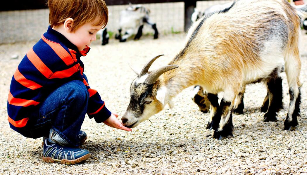 Det har vore forska lite på korleis dyr kan fungere som pedagogisk ressurs og velferdstilbod. No startar NMBU kurs som gir innsikt i korleis dyra på garden kan brukast helsefremjande. (Illustrasjonsfoto: Kelly MacDonald / Shutterstock / NTB scanpix)