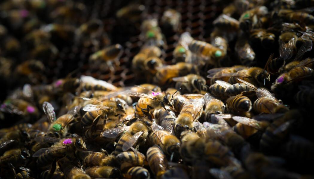 Bier er avhengige av tarmfloraen, slik vi er. (Foto: Vivian Abagiu, The University of Texas at Austin)