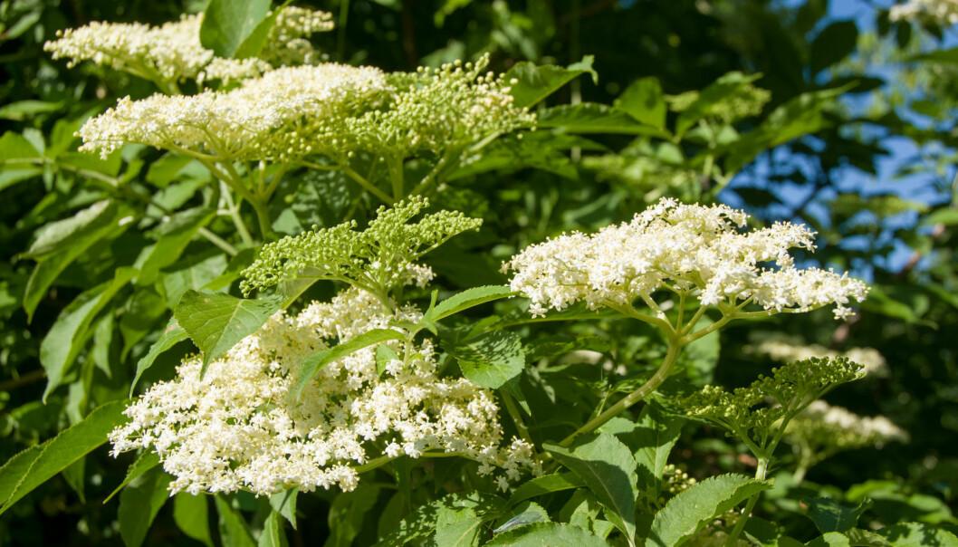 Svarthyll er et lite, løvfellende tre eller en stor busk. De gulhvite blomstene kommer i juni-juli, mens de blåsvarte bærene (som botanisk sett er steinfrukter) modner om høsten. Hele busken, bortsett fra blomstene og de modne fruktene, er giftig. (Foto: Shutterstock / NTB scanpix)