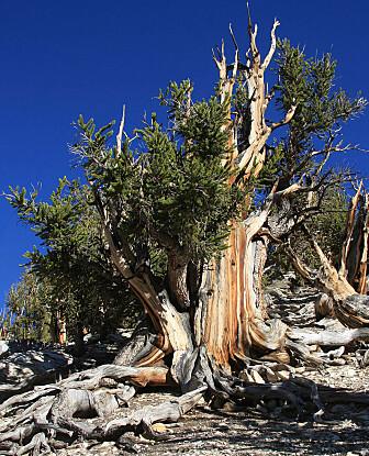 En furutype kalt Great Basin Bristlecone Pine kan bli flere tusen år gammel. (Dcrjsr/CC BY-SA 3.0)