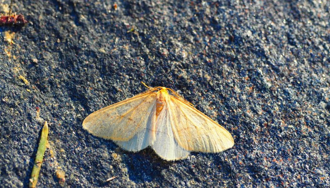 På denne tiden av året kan du se gul frostmåler som voksen sommerfugl på jakt etter en make. Forskerne vil ha din hjelp til å finne ut hvor langt nord de lever. (Foto: Jon Aars)
