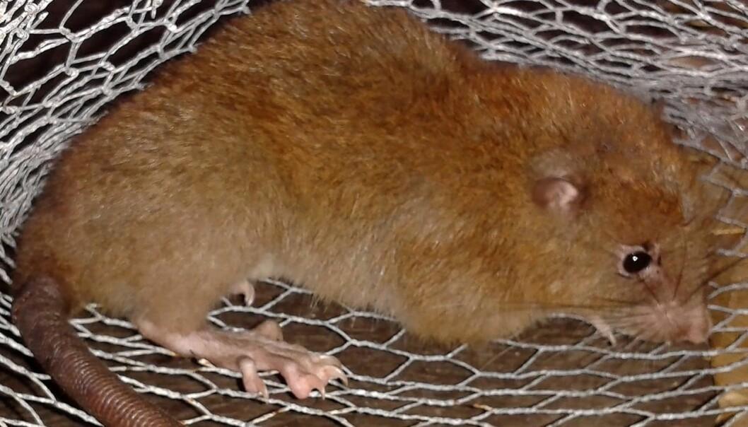 Den nyoppdagede rotta <em>Uromys vika</em> kan veie en hel kilo og liker seg best oppe i trærne. (Foto: Tyrone Lavery, The Field Museum)