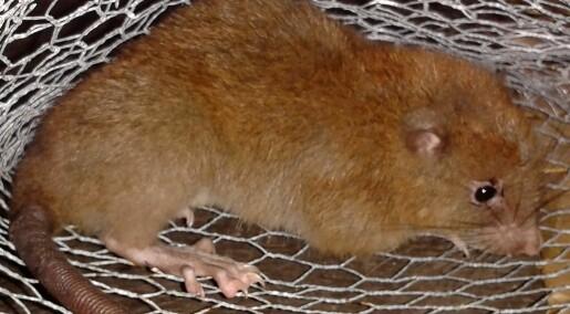 Har de funnet rotta som spiser kokosnøtter?