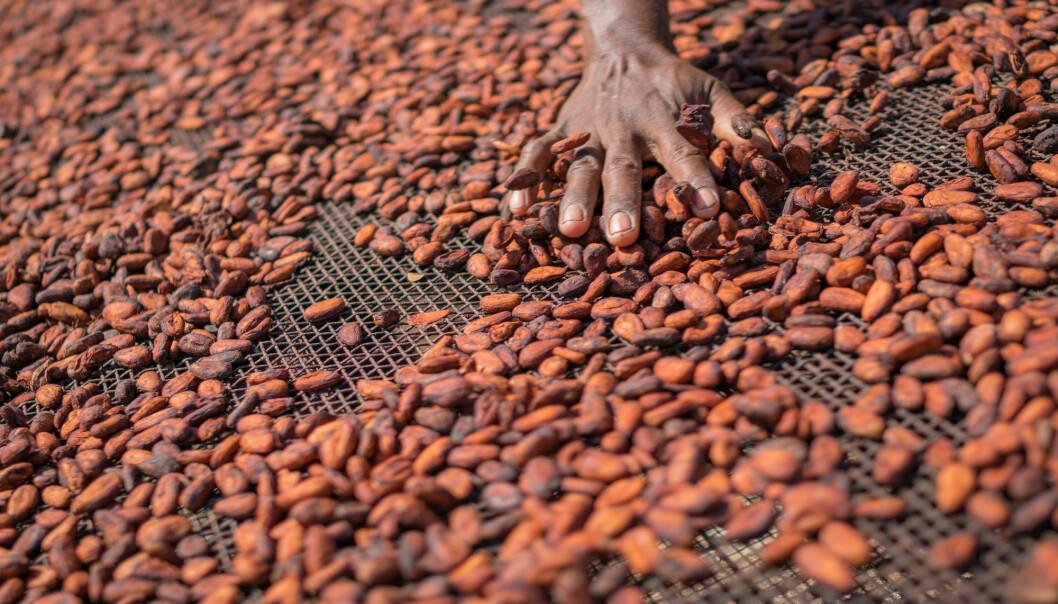 Kakaobønner tørker i sola. Det kan være viktig for innholdet av vitamin D. (Foto: noBorders - Brayden Howie / Shutterstock / NTB scanpix)