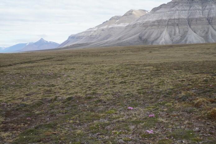 Den arktiske tundraen er ikke ett sted hvor det er lett å være en plante og plantene her blir heller ikke veldig store. Ofte er det kulden og den korte vekstsesongen som begrenser veksten. Men når klimaendringene gjør det varmere, så kan mangelen på vann bli en like stor utfordring. (Foto fra Svalbard: Anders Kolstad, NTNU Vitenskapsmuseet, CC BY-SA 4.0.)