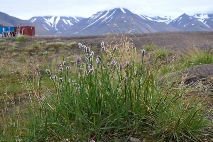 Plantene på den arktiske tundraen har blitt høyere og strekker seg mot himmelen slik som disse polarreverumpene på Svalbard. Dette skyldes høyere temperaturer som en følge og klimaendringene. (Foto: Anders Kolstad, NTNU Vitenskapsmuseet, CC BY-SA 4.0.)