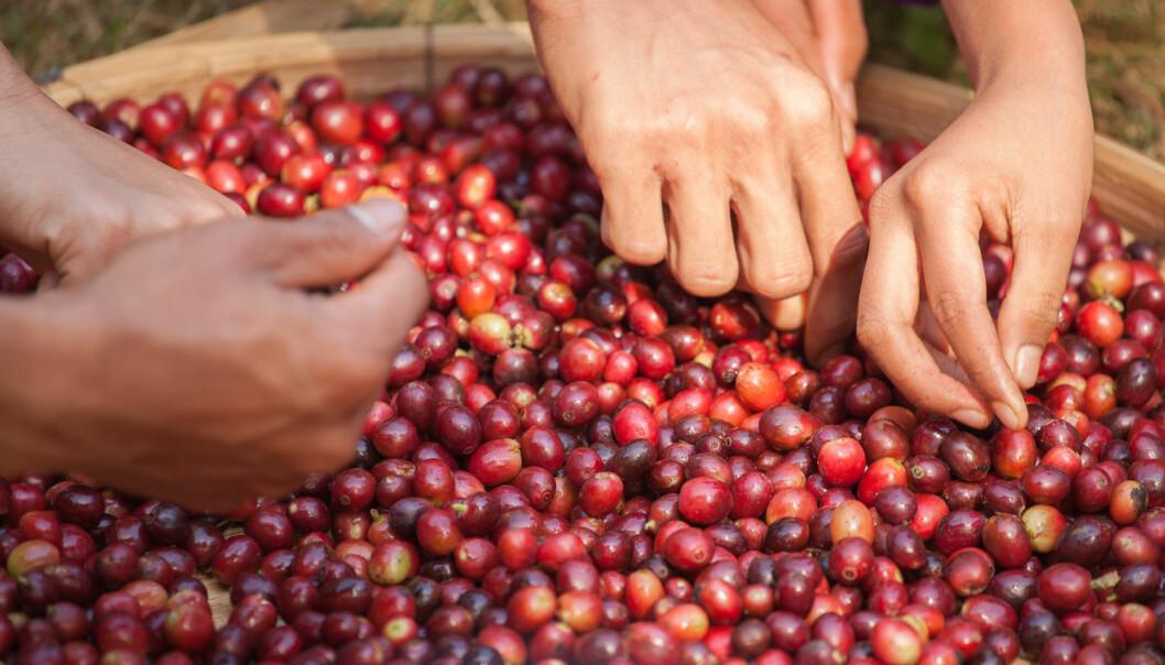 Er konsumentar villege til å betale meir, kan kaffibøndene også overvinne utfordringar, seier Milda J.Nordbø. (Foto: Shutterstock / NTB scanpix)