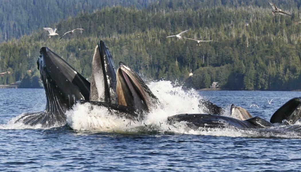 Knølhvaler som spiser sild i Alaska. (Illustrasjonsbilde: AP Photo/Ketchikan Daily News, Tom Miller/NTB Scanpix)