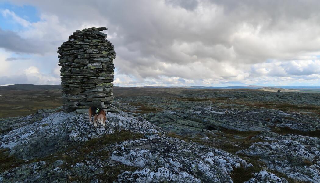 Staselig toppvarde på Jammerdalshøgda (1234 m o.h.), Ringebu. (Foto: Henriette Linge)