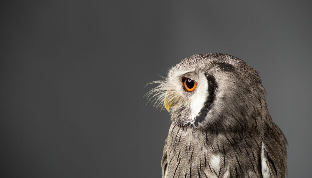 Noen ganger klemmer hvitfjesugla sammen fjærene og kniper sammen øynene. Kanskje vil den ikke bli oppdaget. (Foto: Shutterstock / NTB scanpix)