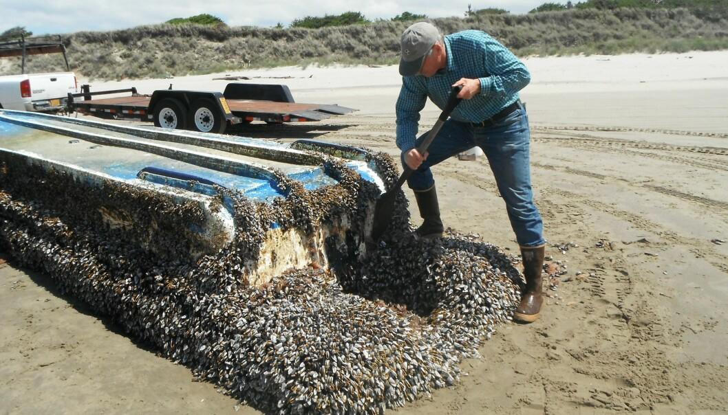 Forsker John Chapman inspiserer et fartøy som har drevet med strømmen fra Japan til Long Beach i delstaten Washington. (Foto: Russ Lewis)