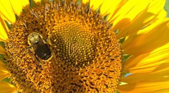 Blomsten som beskytter bien