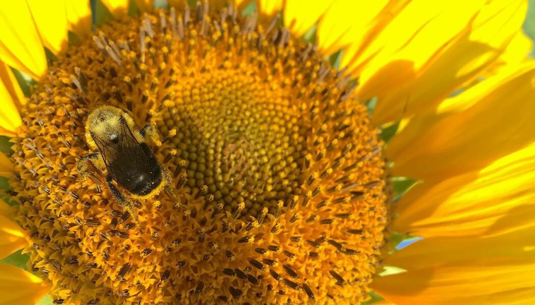 Bier som spiste pollen fra solsikker hadde mye mindre problemer med visse sykdomer. (Foto: Jonathan Giacomini, NC State University)