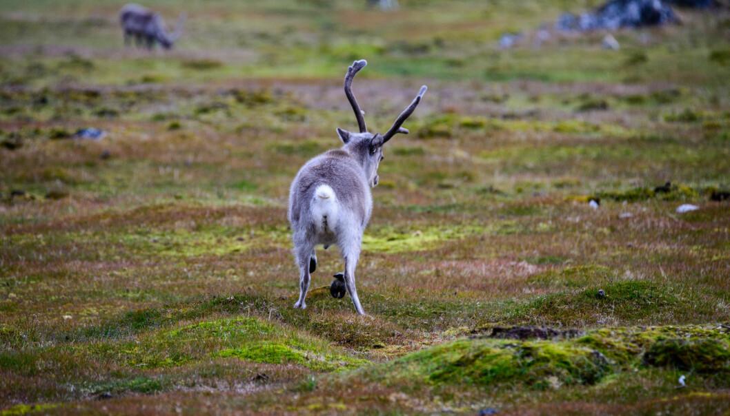 Forskere i Genøk skal analysere avføring fra reinsdyr for å kartlegge forekomsten av antibiotikaresistensgener. (Foto: Colourbox)