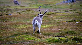Forskere tester avføring fra reinsdyr