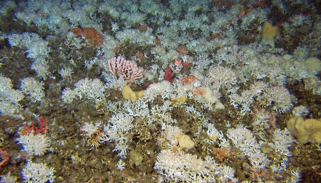 """Lophelia er en vanlig korall på norske korallrev. Her fra revet """"Korallen"""" og viser lave og jevnstore Lophelia-koraller.  (Foto: Havforskningsinstituttet)"""