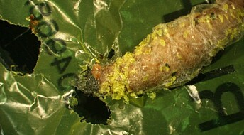 Tok forskerne feil om plastspisende larver?