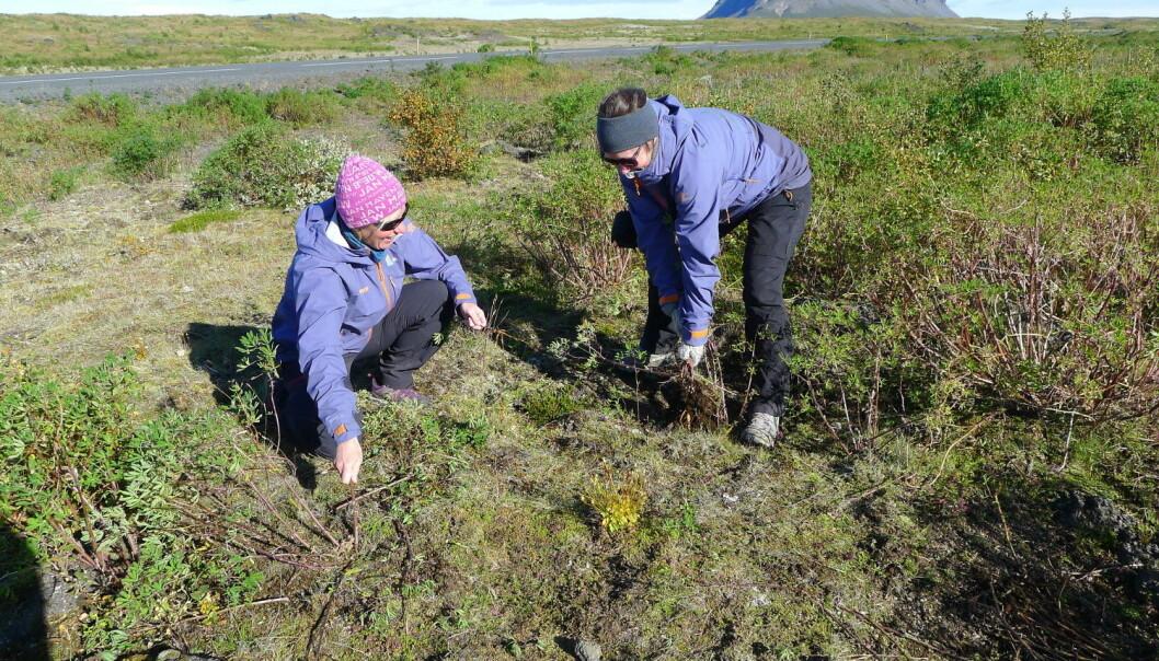 Vi bidro med litt praktisk naturrestaurering ved å fjerne en håndfull av Islands millioner av innførte lupiner. (Foto: Privat)