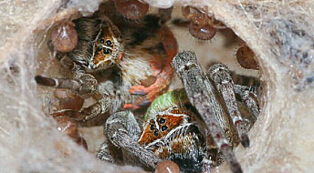 Gamle jomfru-edderkopper lar seg spise av tantebarna