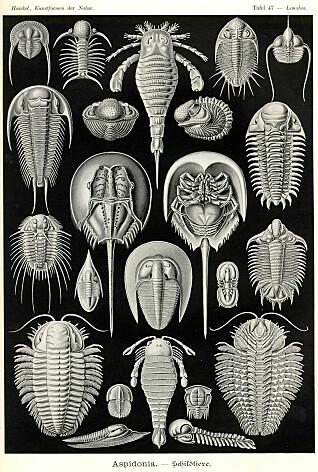 Trilobitter (av Haeckel kalt Aspidonia) er en utdødd gruppe leddyr som levde for mellom 550 og 250 millioner år siden og kunne bli fra noen få millimeter til én meter lange. Trilobittene levde i havet. I Norge er det funnet fossiler etter over 300 ulike arter trilobitter. (Publisert av www.BioLib.de / GNU)