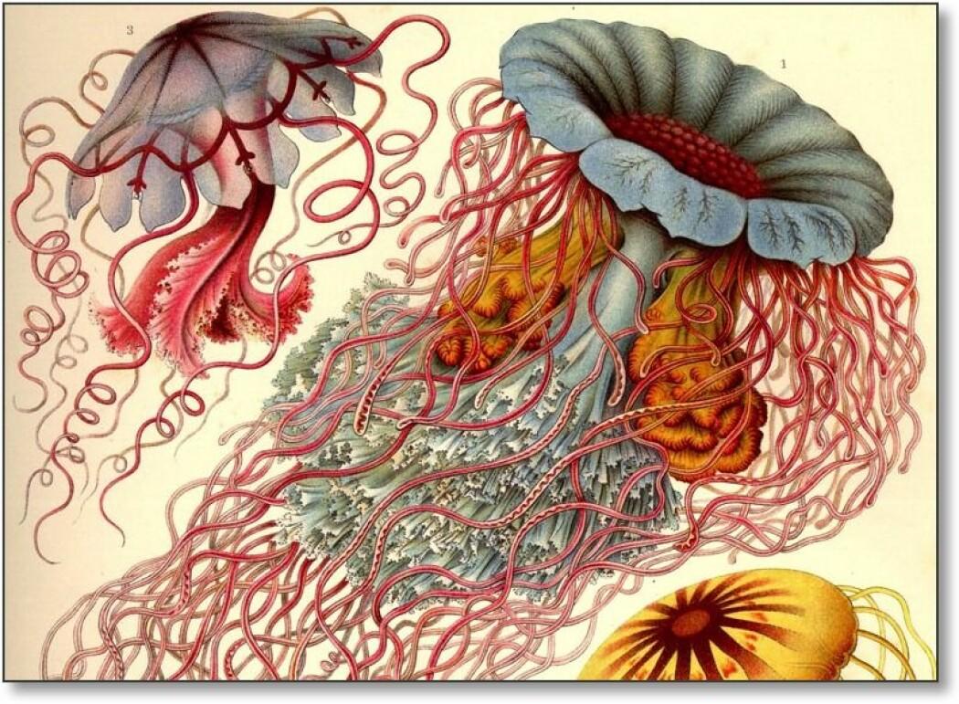 Disse manetene er kanskje noe av det vakreste Haeckel tegnet. Biologiprofessorens drømmeaktige bilder kan se ut som noe han har fantasert, heller enn virkelige skapninger han observerte. (Publisert av www.BioLib.de / GNU)