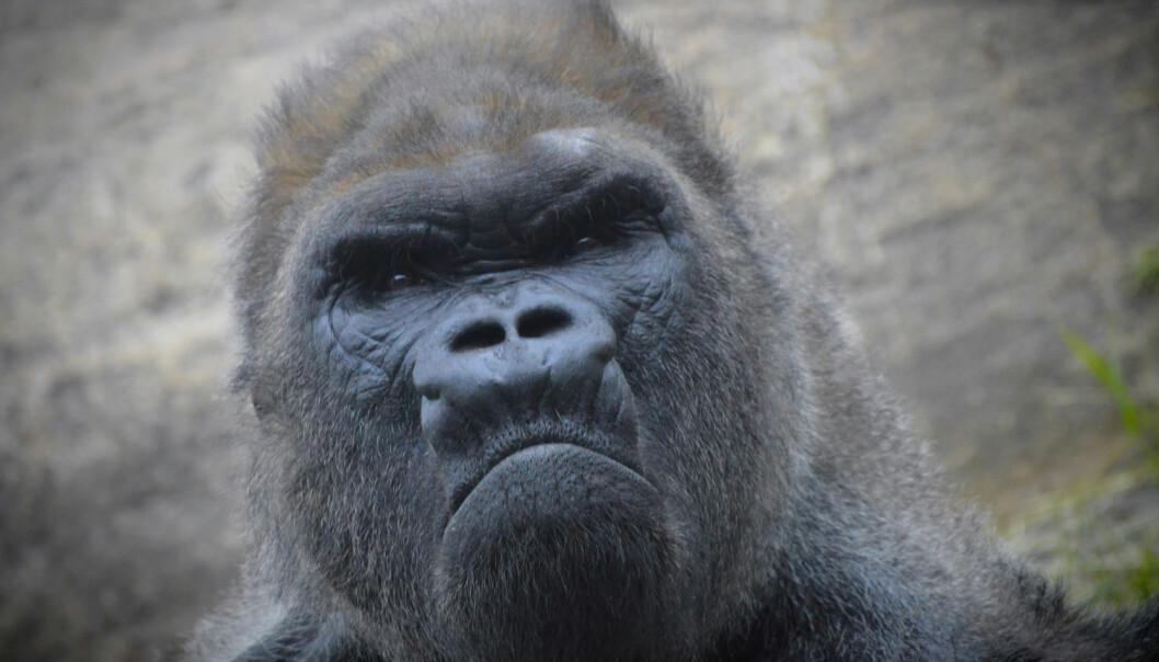 Gretten gorilla?  (Foto: KARI K / Shutterstock / NTB scanpix)