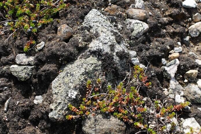 Nesten skjult i terrenget tegner laven kart på denne steinen vi fant på en liten kolle i fjellet i Øvre Telemark. (Foto: Eivind Torgersen)