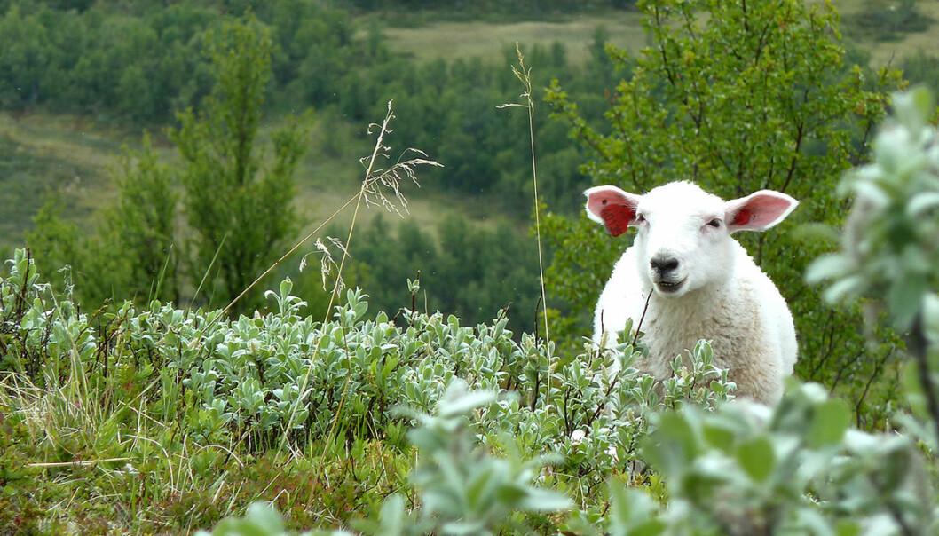 Vi vet at sauens beiting påvirker landskapet. Men hvor mye? (Foto: Mia Vedel Sørensen / NTNU)