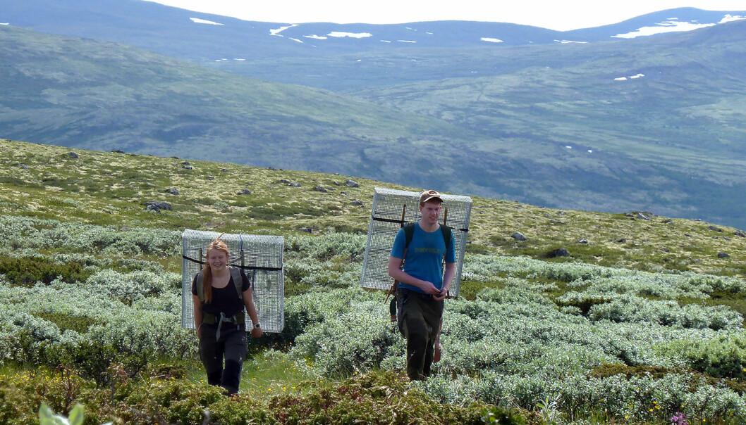 Forskerne satte ut egne bur i fjellandskapet, som skulle holde sauene unna. Dermed kunne forskerne sammenligne landskapet i og utenfor burene. (Foto: Mia Vedel Sørensen / NTNU)
