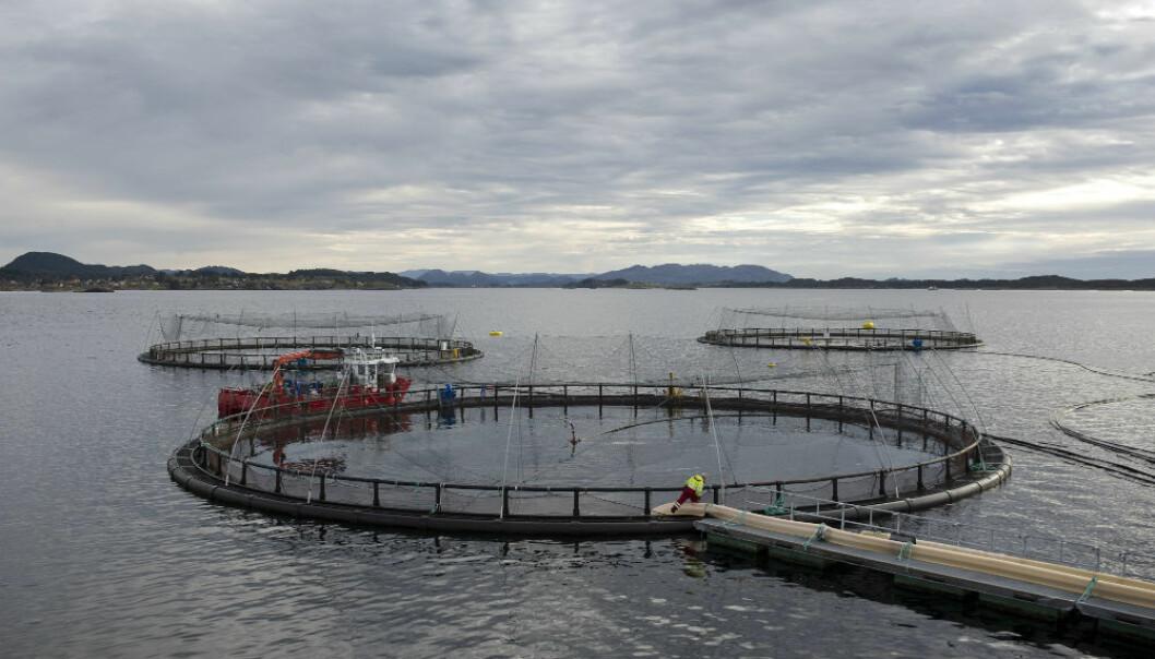 Havbruksnæringen har sine utfordringer, ikke minst når det gjelder lakselus, rømming, sykdomsbekjempelse blant fisken og forurensning i fjordene, forteller forsker. (Foto: Helge Skodvin)