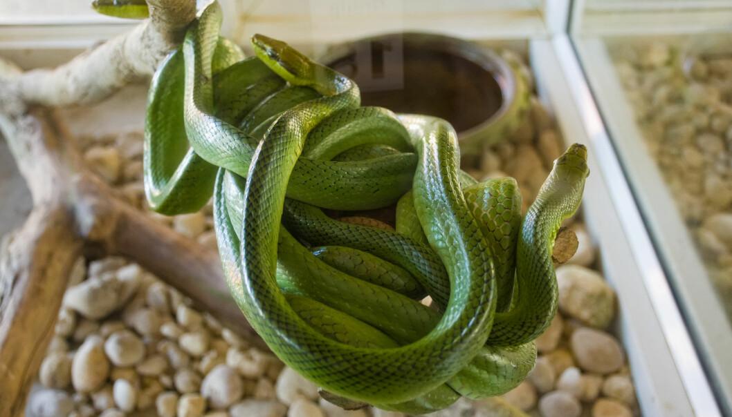 En av de viktigste du må ha er et godt miljø som reptilet kan leve i. Det kalles et terrarium og trenger både riktig UV-lys og oppvarming. (Foto: Shutterstock / NTB scanpix)