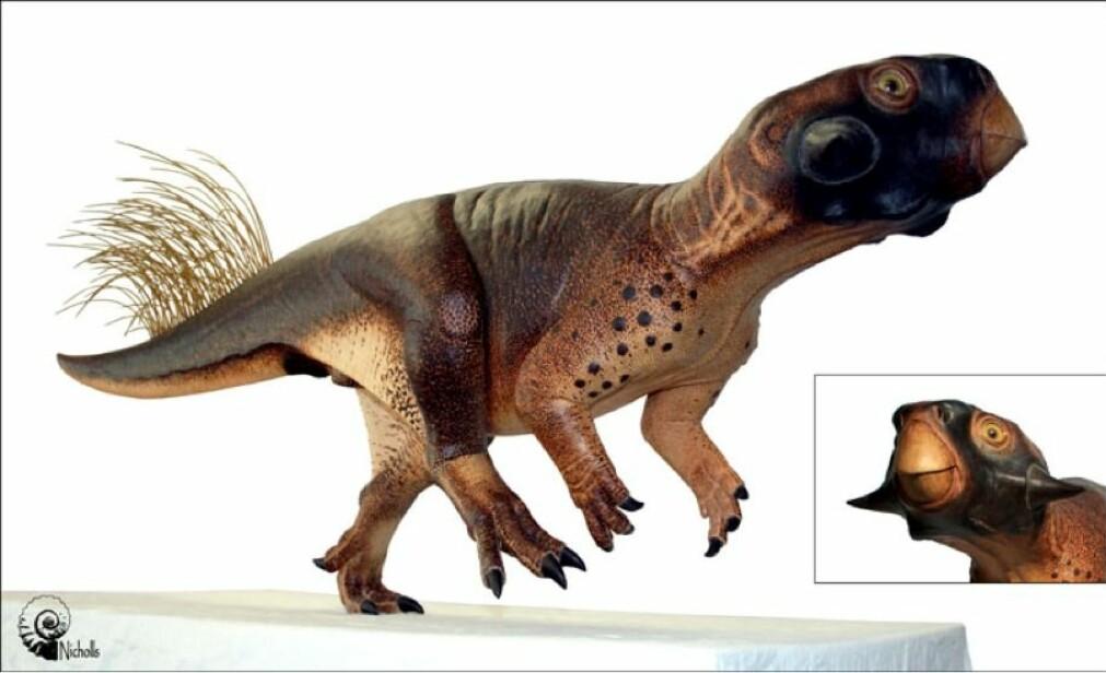 Psittacosaurus hadde ikke fjær over hele kroppen – bare bak på halen. De så ikke ut som vanlige fjær. – Dette er antakelig en type fjær som noen dinosaurer hadde – de var litt som hule strå, sier Jørn Hurum. (Foto: Jakob Vinther/Bob Nicholls (fossil-foto), Bob Nicholls (modell))