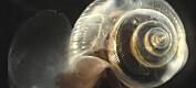 Havforsuring påvirker skallet til vingesneglen