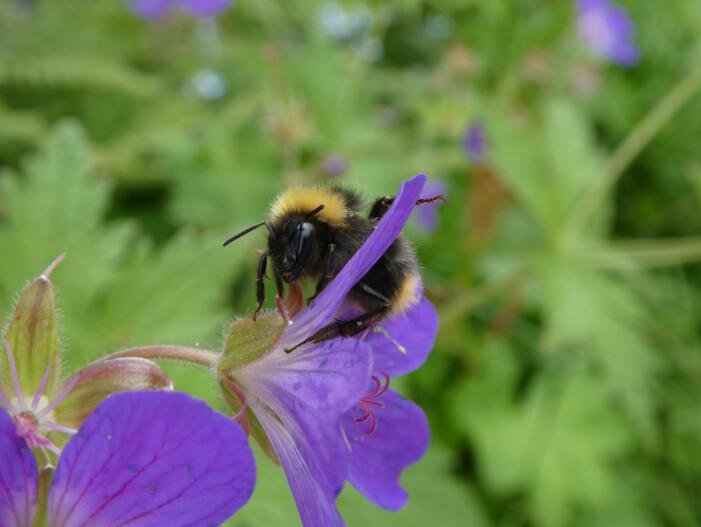 Et varmere klima kan ha både direkte og indirekte effekter på planter og dyr, inkludert pollinerende insekter som humler. (Foto: Siri Lie Olsen)