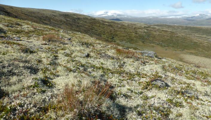 Lav- og mosedekte fjellheier kan bli mer dominert av planter i et varmere og våtere klima. Det kan få konsekvenser for blant annet reinsdyr. (Foto: Siri Lie Olsen)