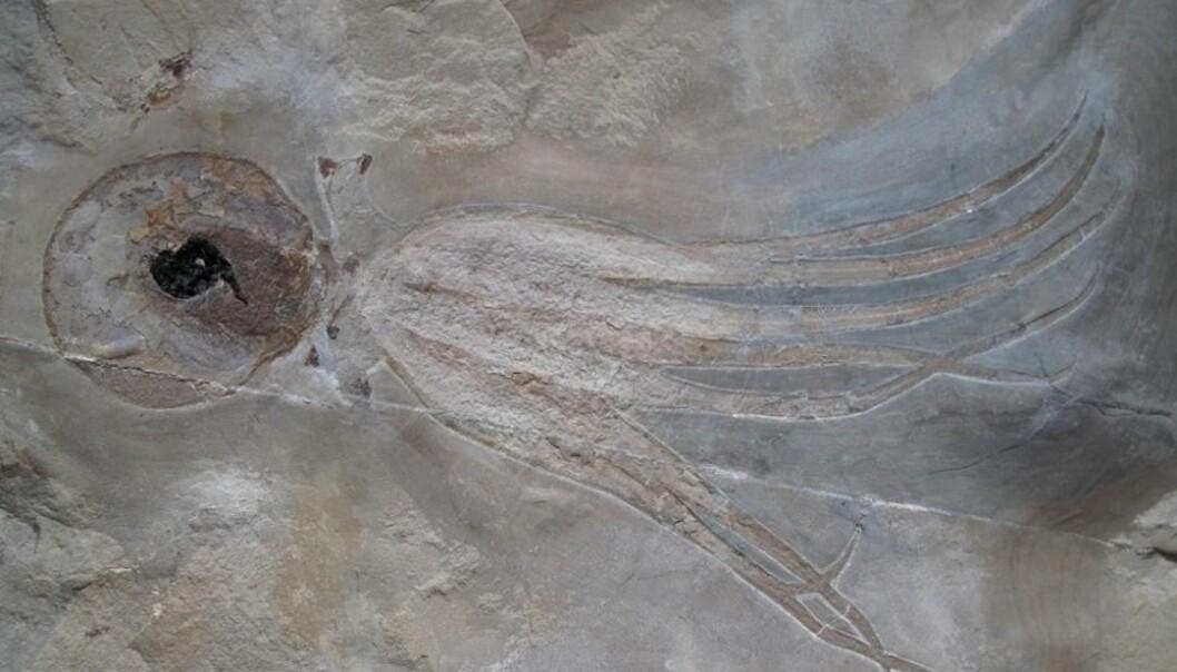 Denne åttearmede blekkspruten levde i fjæra for 95 millioner år siden. Den er så godt bevart at du kan se blekkposen. (foto: Mike Bätjer)