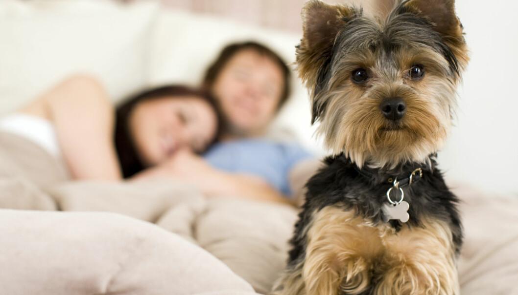 Deltakerne i studien sov godt med hunden i samme rom, men ikke hvis hunden fikk lov til å ligge i senga.  (Foto: Shutterstock / NTB scanpix)