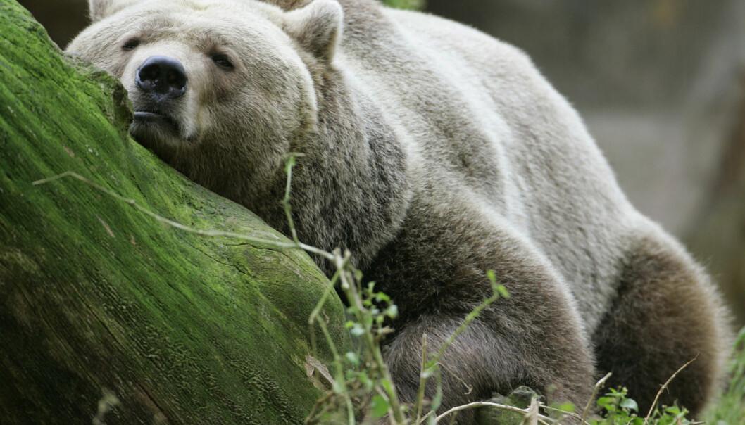 For å finne ut av hvordan situasjonen var for bjørnen for lenge siden, før menneskene begynte å telle dyr og skrive det ned, må forskerne bruke fossile funn. (Foto: REUTERS / Arnd Wiegmann)